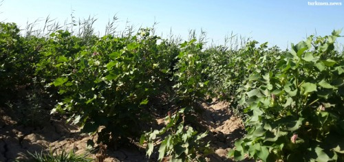 Slight Relief for Teachers in Eastern Turkmenistan over Cotton Campaign